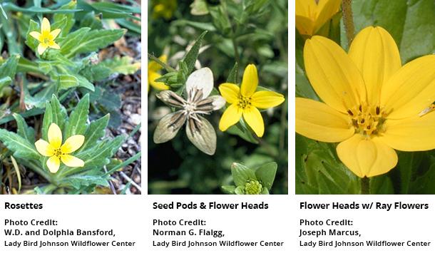 Plant of the month texas star rvi texas star texas yellowstar lindheimer daisy mightylinksfo