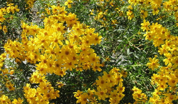 Plant of the month copper canyon daisy rvi bees and butterflies are attracted to its golden yellow flowers and deer seem to strongly dislike the pungent smell of copper canyon daisys foliage and mightylinksfo Gallery